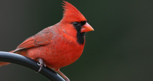 northern_cardinal_male_aa_md_20071221_02-2