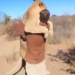 Aubie the Tiger is not like this man-hugging lion
