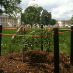 Toomer's Oak sapling on Capitol Hill has already been rolled