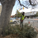 Experts prepping Toomer's Oaks for experimental sugar IV, but warn against reading into signs of growth
