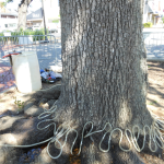 Pour Some Sugar On Me: Experimental treatment 'shifts the balance' in the Toomer's Oaks' fight for survival
