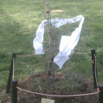 Capitol Hill Toomer's Oak sapling rolled again