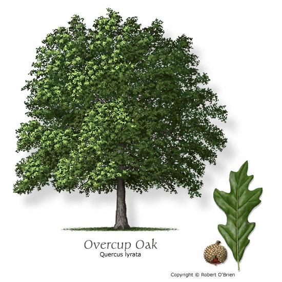 oak_overcup