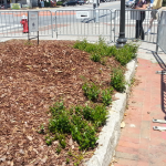 Dozens of Toomer's Oaks shoots sprouting in planter closest to Magnolia Ave.