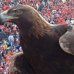 Tiger, War Eagle VI, longtime Auburn mascot, first eagle to fly in Jordan-Hare, dies